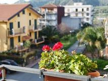 Flower geranium in pot on balcony of urban house Stock Photos
