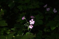 The flower of geranium. The flower of some geranium wood or caucasian cranesbill, illuminated by a bright sunbeam, against the background of dark thickets stock photography