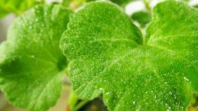 Geranium. Flower geranium wet after watering stock photo