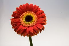 Flower of gerber daisy collection stock photography