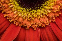 Flower of gerber daisy collection stock photo