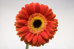 Flower of gerber daisy collection royalty free stock images