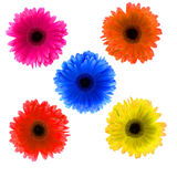 Flower Gerbera Stock Images