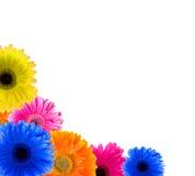 Flower Gerbera Stock Image
