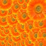Flower Gerbera Stock Photos