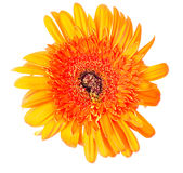 Flower Gerbera Royalty Free Stock Image