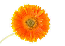 Flower Gerbera. Stock Photos