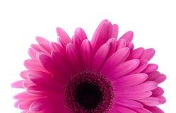 Flower Gerbera. Royalty Free Stock Photo