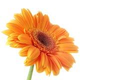 Flower Gerbera royalty free stock image