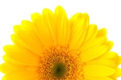 Flower Gerbera. Royalty Free Stock Image