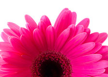 Flower Gerbera. Stock Image