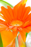 Flower Gerbera. Stock Image