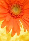 Flower Gerbera. Royalty Free Stock Photo