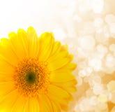 Flower Gerbera. Royalty Free Stock Photography