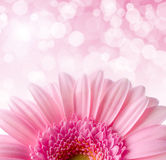Flower Gerbera Royalty Free Stock Photo