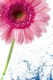 Flower Gerbera Royalty Free Stock Photos