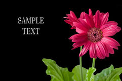 Flower gerbera on a black background Royalty Free Stock Photography
