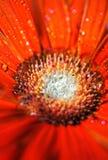 Flower gerbera with dew stock photos