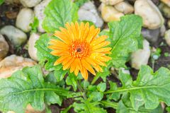Flower Gerbera Orange with water drops. Flower Gerbera of the Gerbera genus. Orange with water drops in the garden, Barberton daisy, Gerbera jamesonii, Daisy stock photography