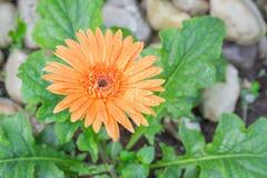 Flower Gerbera Orange with water drops. Flower Gerbera of the Gerbera genus. Orange with water drops in the garden, Barberton daisy, Gerbera jamesonii, Daisy royalty free stock images