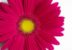 Flower gerbera. Stock Photography