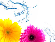 Flower Gerbera and water splash Royalty Free Stock Photography