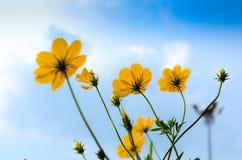 Flower& giallo x28 dell'universo; Zolfo Cosmos& x29; Fotografie Stock Libere da Diritti