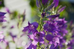 Flower giant bell. On the background of greenery and flowers in the backlight close up stock photos