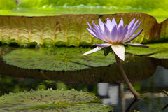 Flower of giant water lily in pond. Light purple tropical water lily (Nymphaeaceae) against a green background of pondwater and lily pads Stock Images
