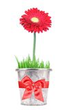 Flower gift in a pot Royalty Free Stock Image