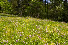 Flower glade on the edge of the spring forest Royalty Free Stock Images