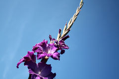 Flower-gladioli. Beautiful purple gladiolas on a blue background Royalty Free Stock Image