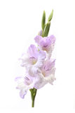 Flower gladiolus Stock Photography