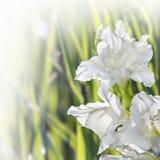 Flower Gladiolus Stock Image
