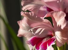 Flower gladiolus grows in garden Royalty Free Stock Images