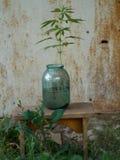 Flower in a glass jar. Hemp branch in a glass jar Stock Images