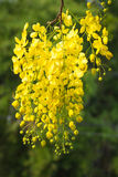 Flower of golden shower tree Stock Image