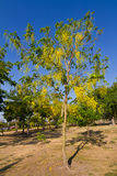 Flower of Golden Shower Tree Stock Photos