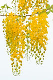 Flower of Golden Shower Tree Stock Photo