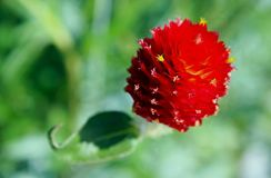 Strawberry Fields globe amaranth, Gomphrena haageana. Flower of Gompphrena haageana in bloom. Gomphrena haageana Rio Grande globe amaranth is a herbaceous royalty free stock images