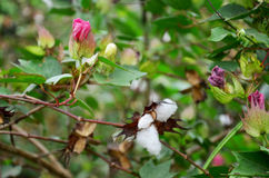 Flower of Gossypium herbaceum or cotton flowers on tree stock photo