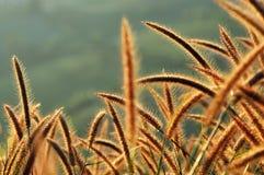 Flower grass. Flower grass with golden rim light Stock Images