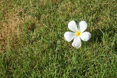 Flower on grass Royalty Free Stock Image