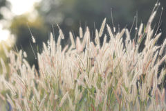 Flower grass against evening sun Royalty Free Stock Photography