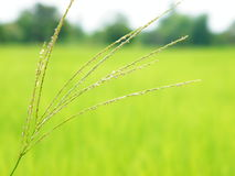 Flower of the grass around the rice fields Stock Image