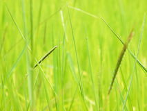 Flower of the grass around the rice fields Royalty Free Stock Photography
