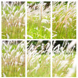 Flower of grass Royalty Free Stock Images