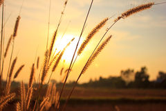 Flower grass. With beautiful sunset Royalty Free Stock Photography