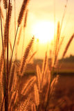 Flower grass. With beautiful sunset Stock Photography