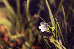 Flower3. Flower in grass , beautween grass leafs Royalty Free Stock Image
